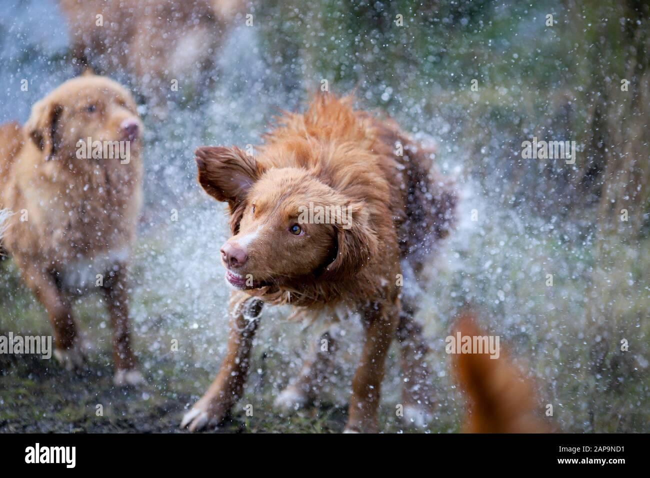 Nova Scotia Duck Tolling Retriever Dogs Enjoying The Water Stock