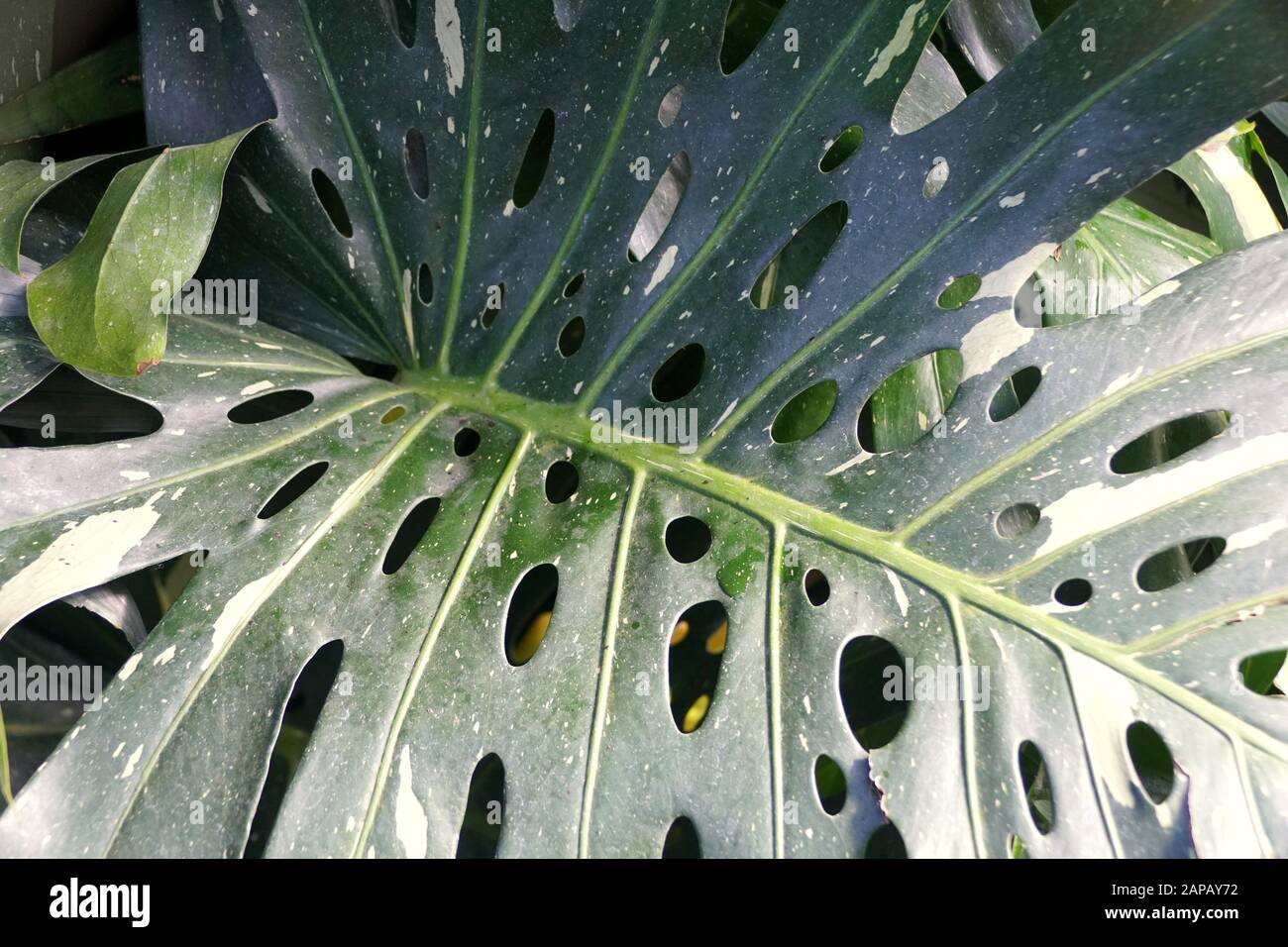 Unique Green Leaves Of Swiss Cheese Variegata Tropical Plant Stock Photo Alamy