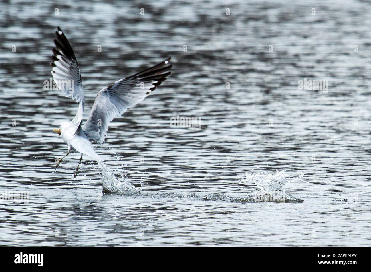 A seagull flying away after grabing some bread from the water Stock Photo