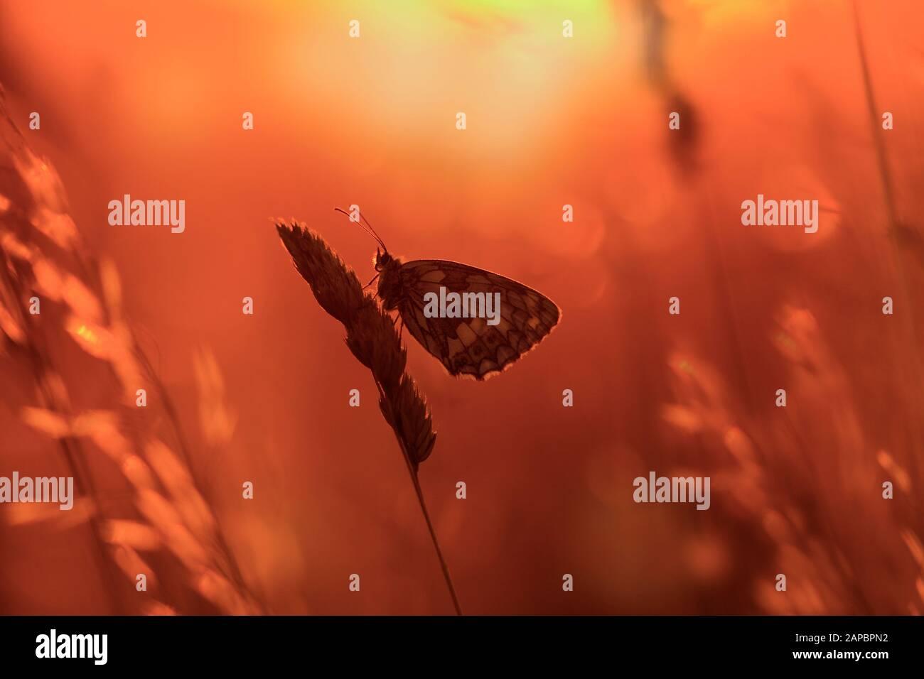 Marbled White Butterfly Melanargia galathea on chiltern hills Bucks Stock Photo
