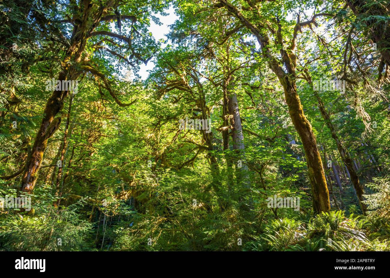 Looking up at the tree canopy of mostly Big Leaf Maple trees, Hoh Rainforest in Olympic National Park near the Hoh river, Washington, USA. Stock Photo