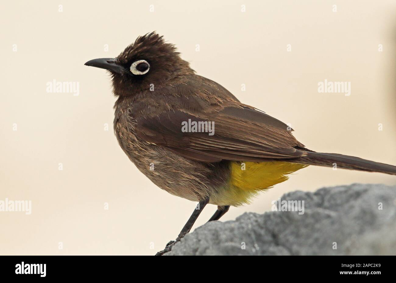 Cape Bulbul (Pycnonotus capensis) close-up of adult perched on rock  western cape, South Africa                     November Stock Photo