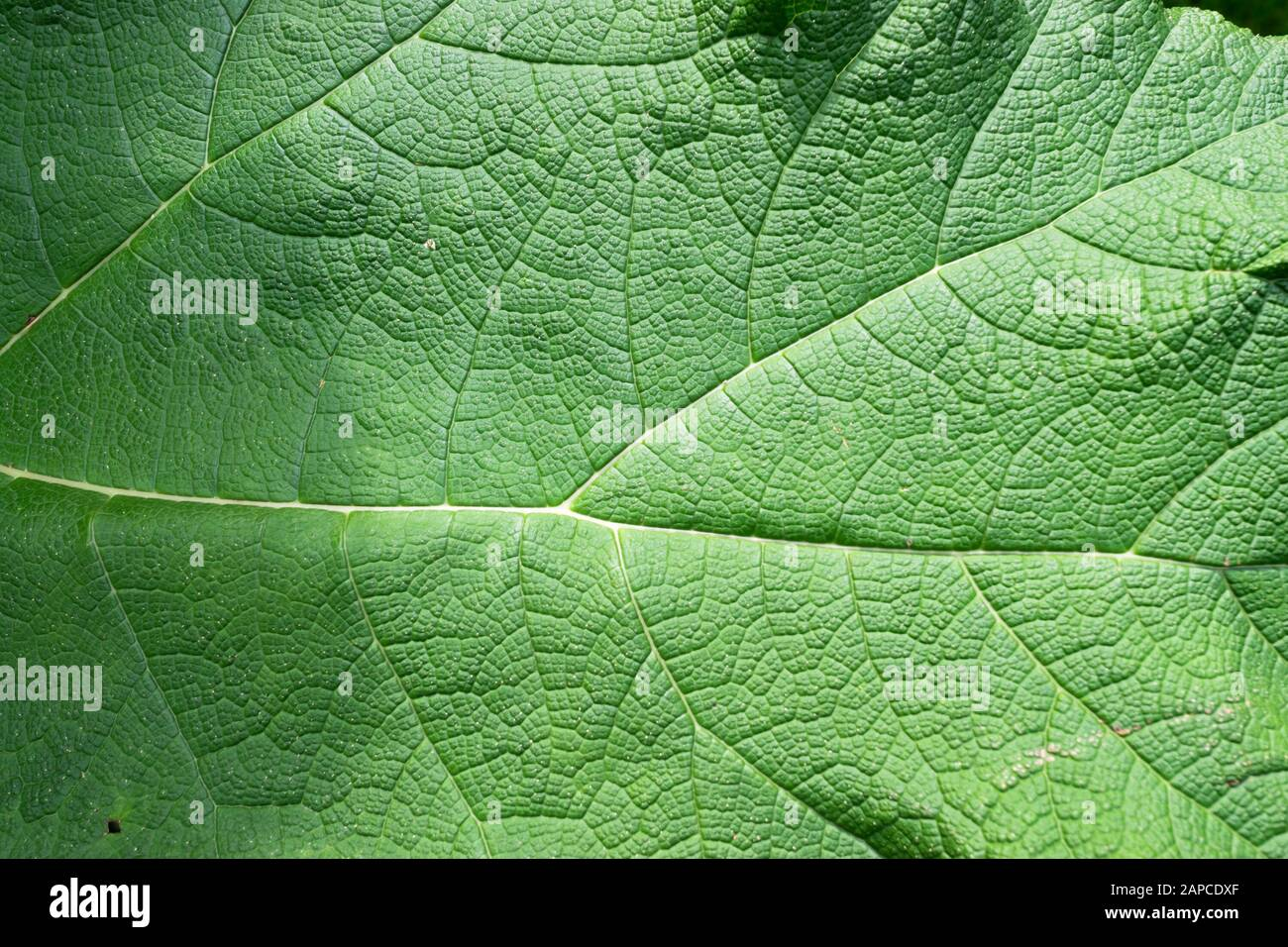 Detailed image of a Gunnera manicata leaf also known as giant rhubarb Stock Photo