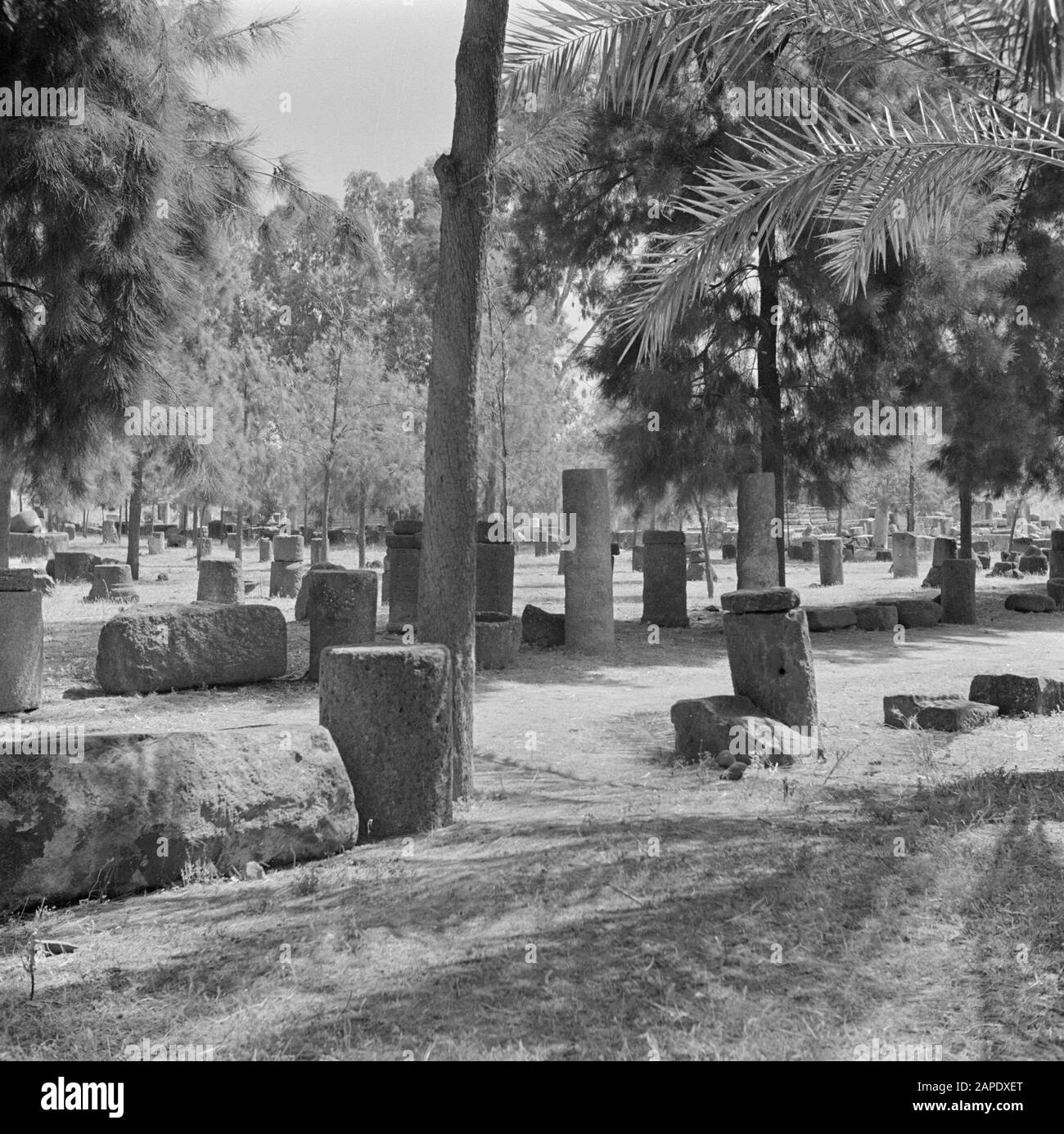 Israel 1948-1949:Galilee Description: Archaeological finds - including wine presses and architectural fragments - exhibited in Kapernaum on the shore of Lake Genesareth/Tiberias Date: 1948 Location: Israel, Kapernaum, Tiberias Keywords: archeology, trees, history, landscapes, exhibitions, viticulture, columns Stock Photo
