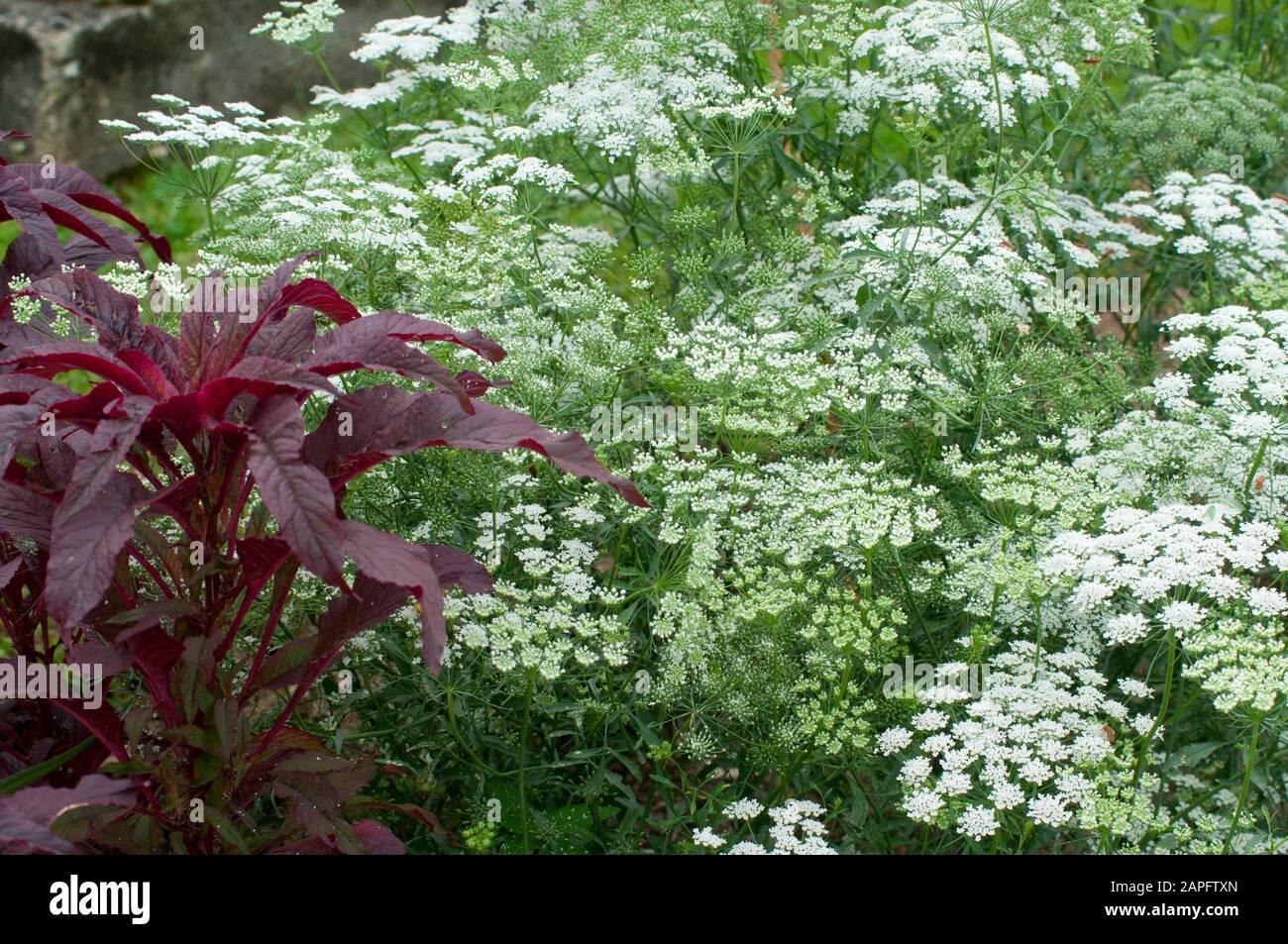 Bishop's Weed (Ammi majus) in bloom Stock Photo