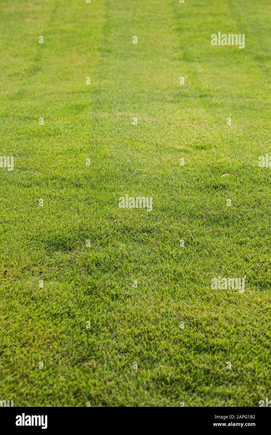 Mascarene Grass Zoysia Tenuifolia Superb Turf Grass Without Watering Slow To Grow And Demanding A Mower Very Resistant Because Very Tough Stock Photo Alamy