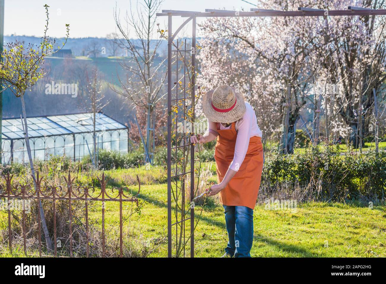 Woman Pruning A Climbing Rose In Late Winter Stock Photo