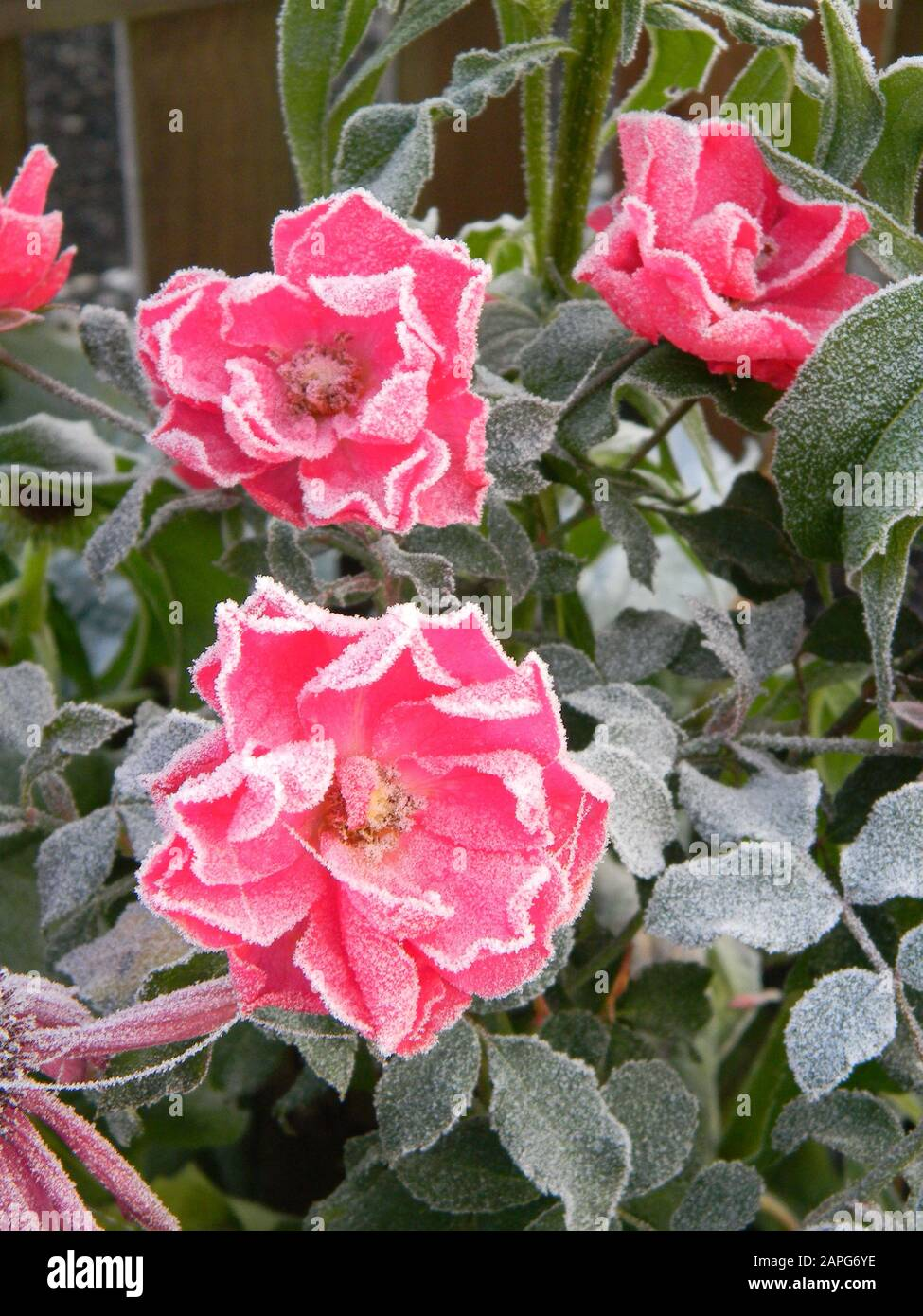 Ground Cover Rose Stock Photos Ground Cover Rose Stock Images