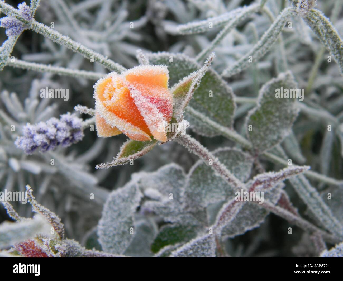 bud of rosa drift rose peach apricot ground cover rose covered in frost lavender in the background stock photo alamy https www alamy com bud of rosa drift rose peachapricot ground cover rose covered in frost lavender in the background image340876148 html