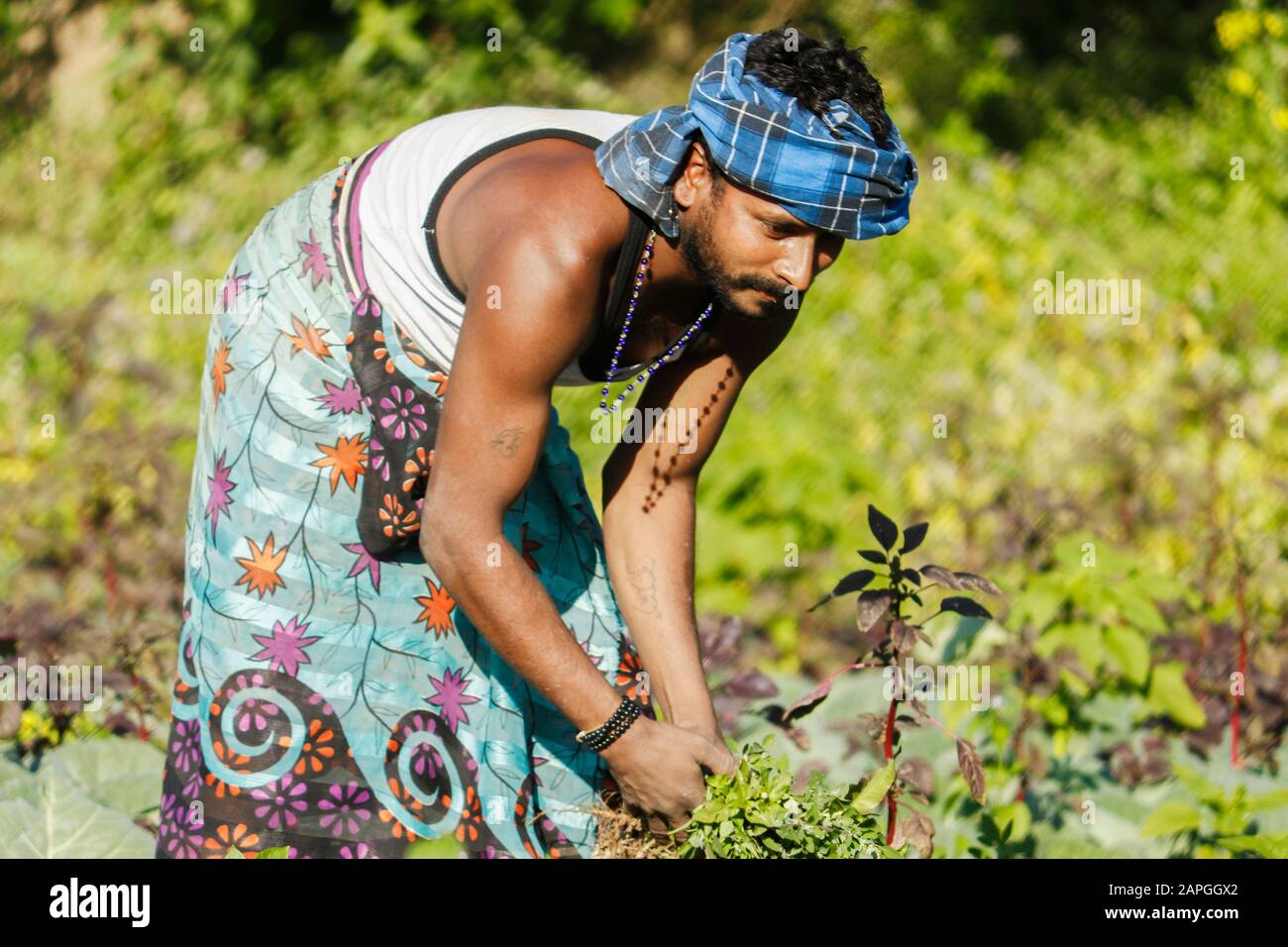 Indian farmer caring for the growing potato.Farmer extirpate grass in potato garden. Stock Photo
