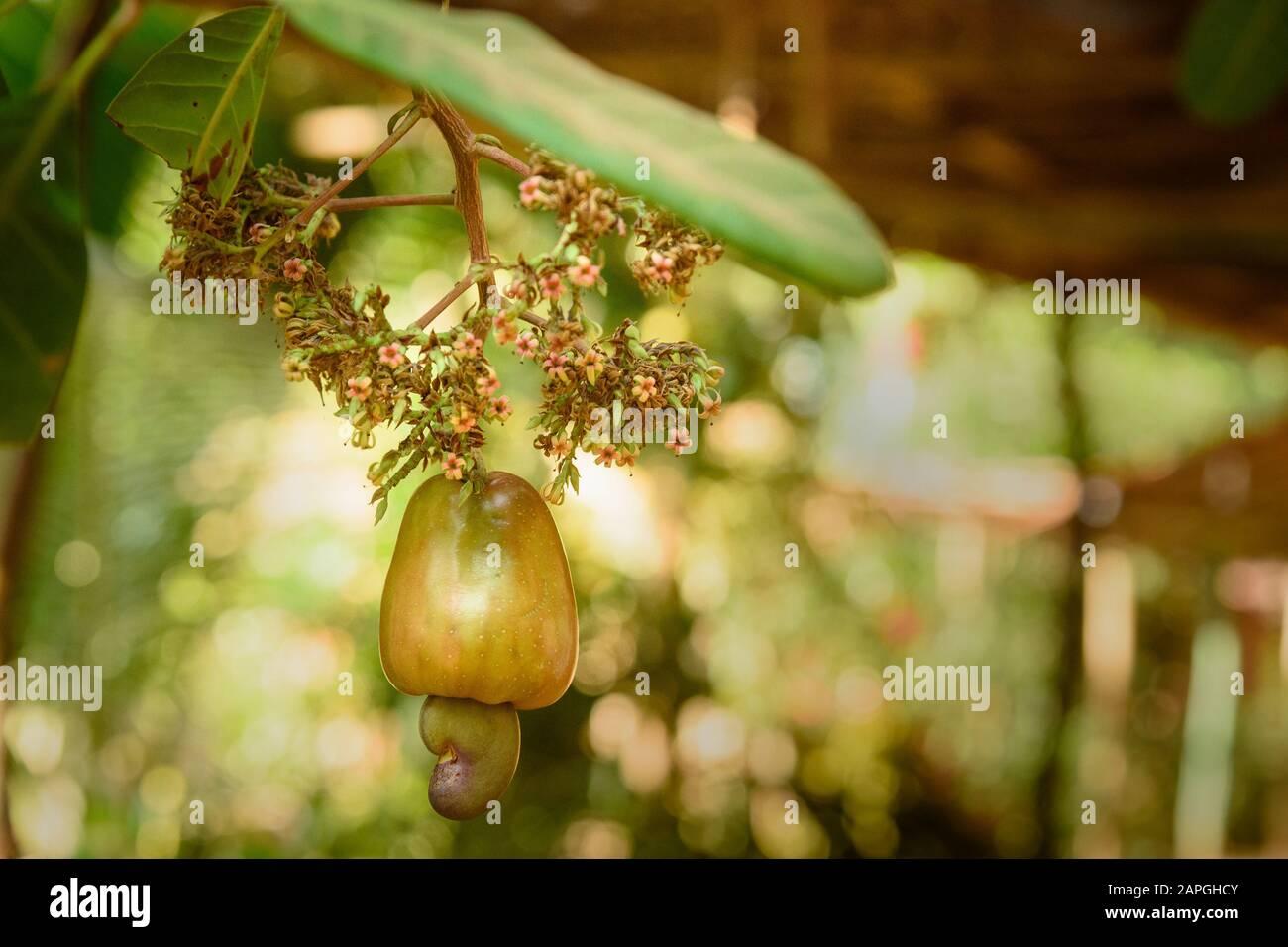 Cashew Nuts Or Anacardium Occidentale Grow On Tree Branch In Gokarna India Stock Photo Alamy