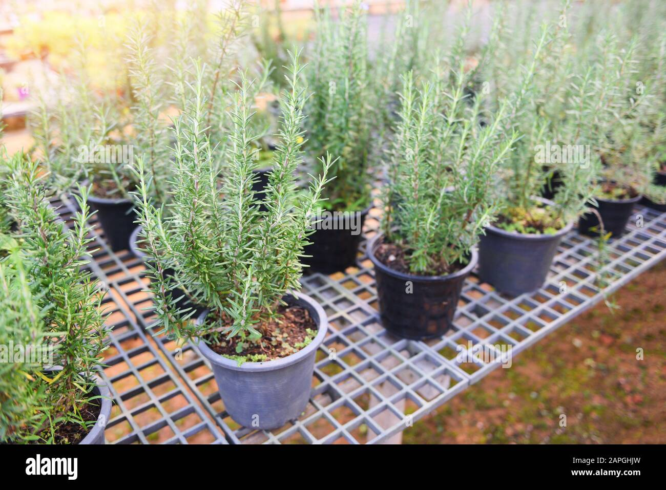 Rosemary Plant Growing In The Garden For Extracts Essential Oil