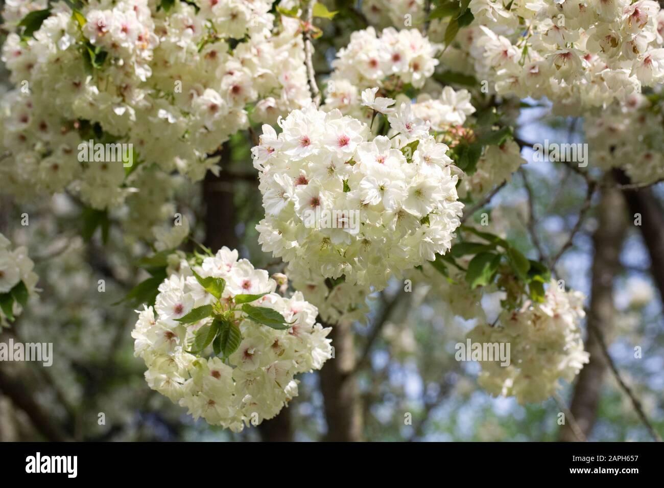 Prunus Ukon Blossom Japanese Flowering Cherry Tree Stock Photo