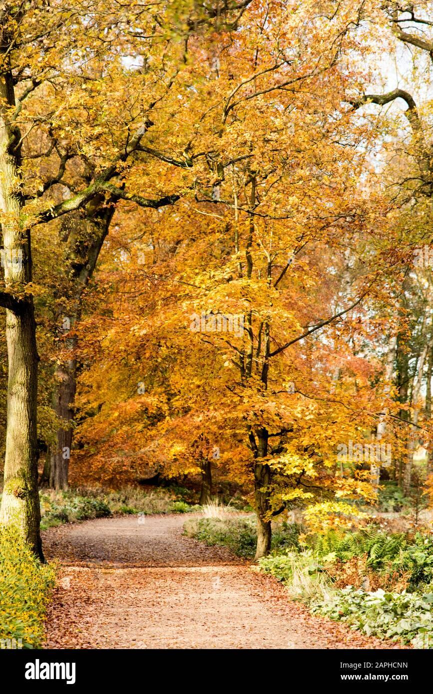 Autumn trees in full autumn colour in English woodland Trentham Gardens  Staffordshire England UK Stock Photo