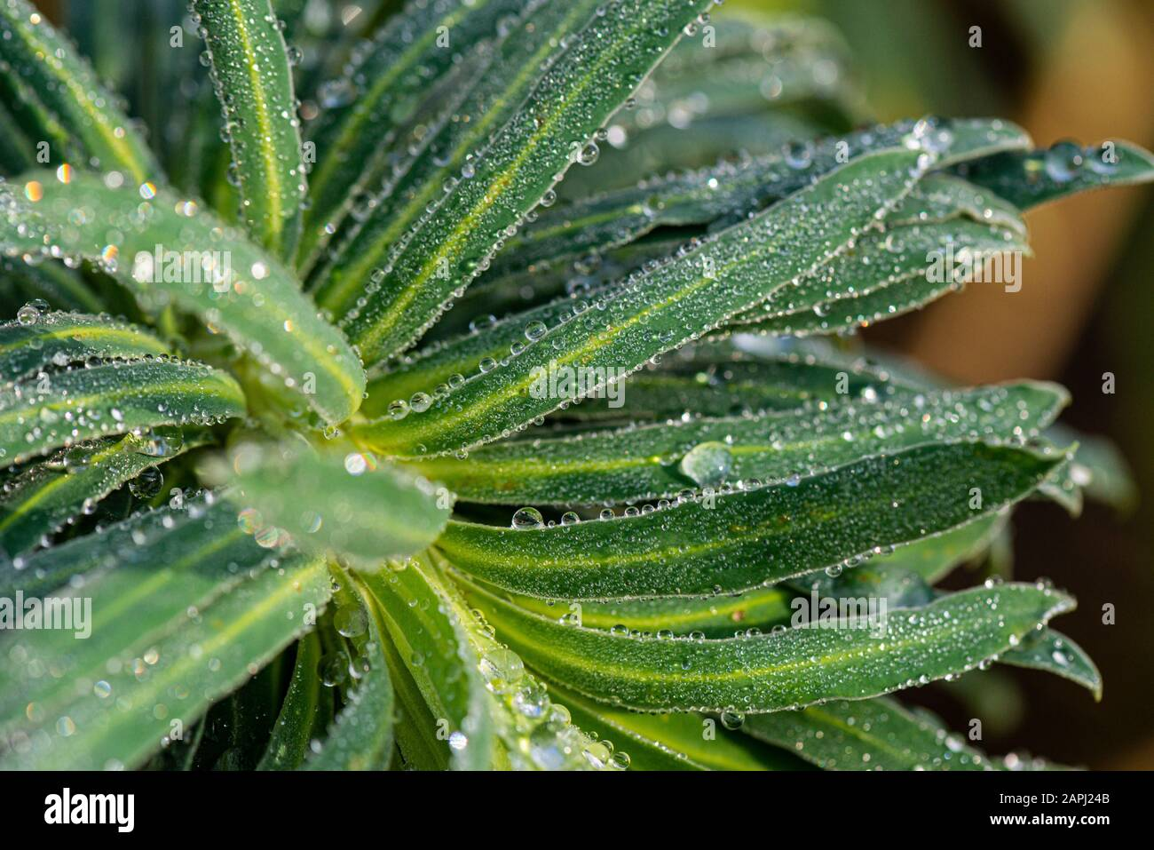 Water Droplets On The Leaves Of A Spurge Euphorbia Stock Photo