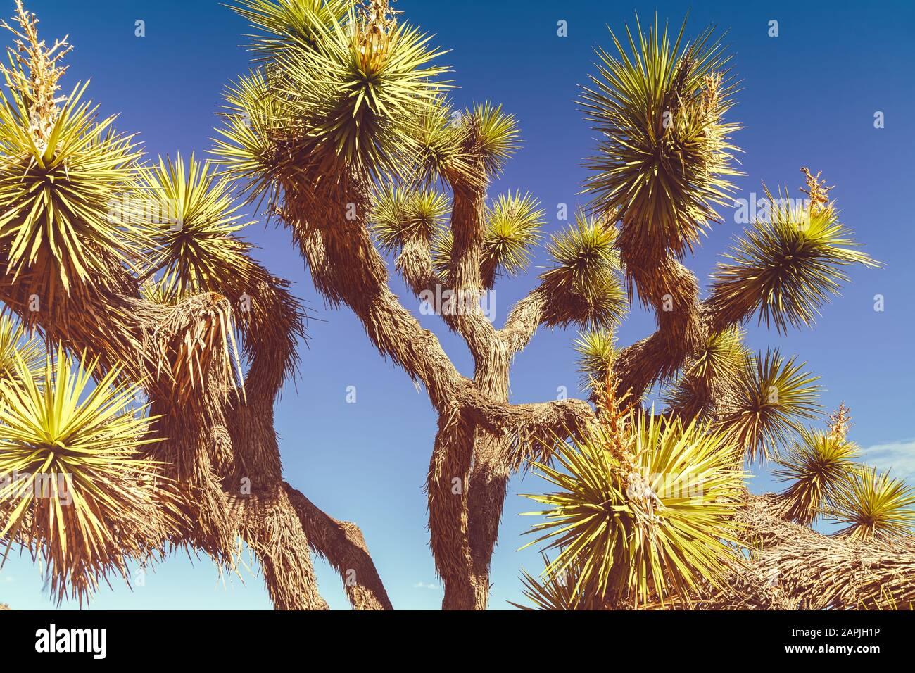 Close up at a Joshua tree, Yucca brevifolia, Joshua Tree National Park, California, United States. Stock Photo