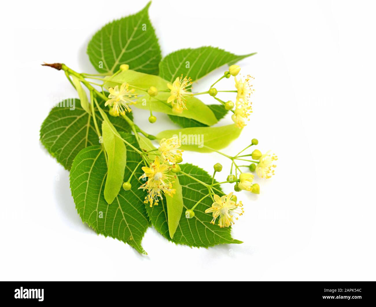 Linden flowers isolated against a white background Stock Photo
