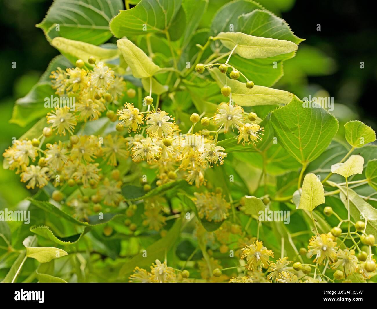 Flowering linden, Tilia Stock Photo