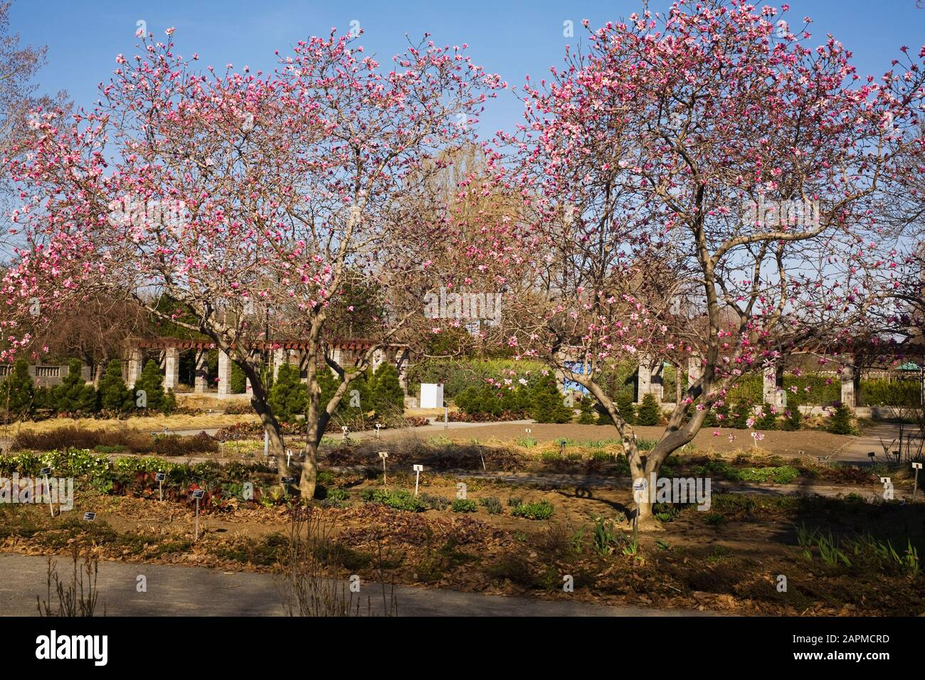 Magnolia Loebneri Trees With Pink And White Flower Blossoms In The