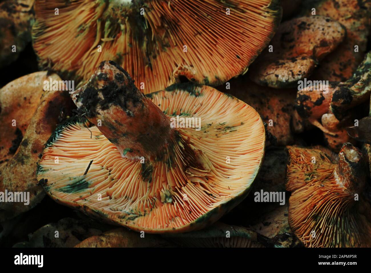 Large brown wild forest mushrooms on display in market Stock Photo