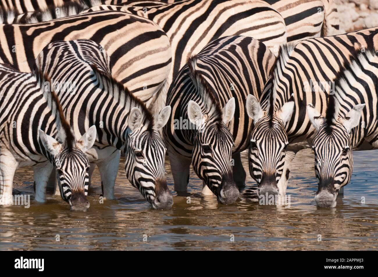 Zeal of burchell's zebras (Equus burchellii) drinking at waterhole, Etosha National Park, Namibia Stock Photo