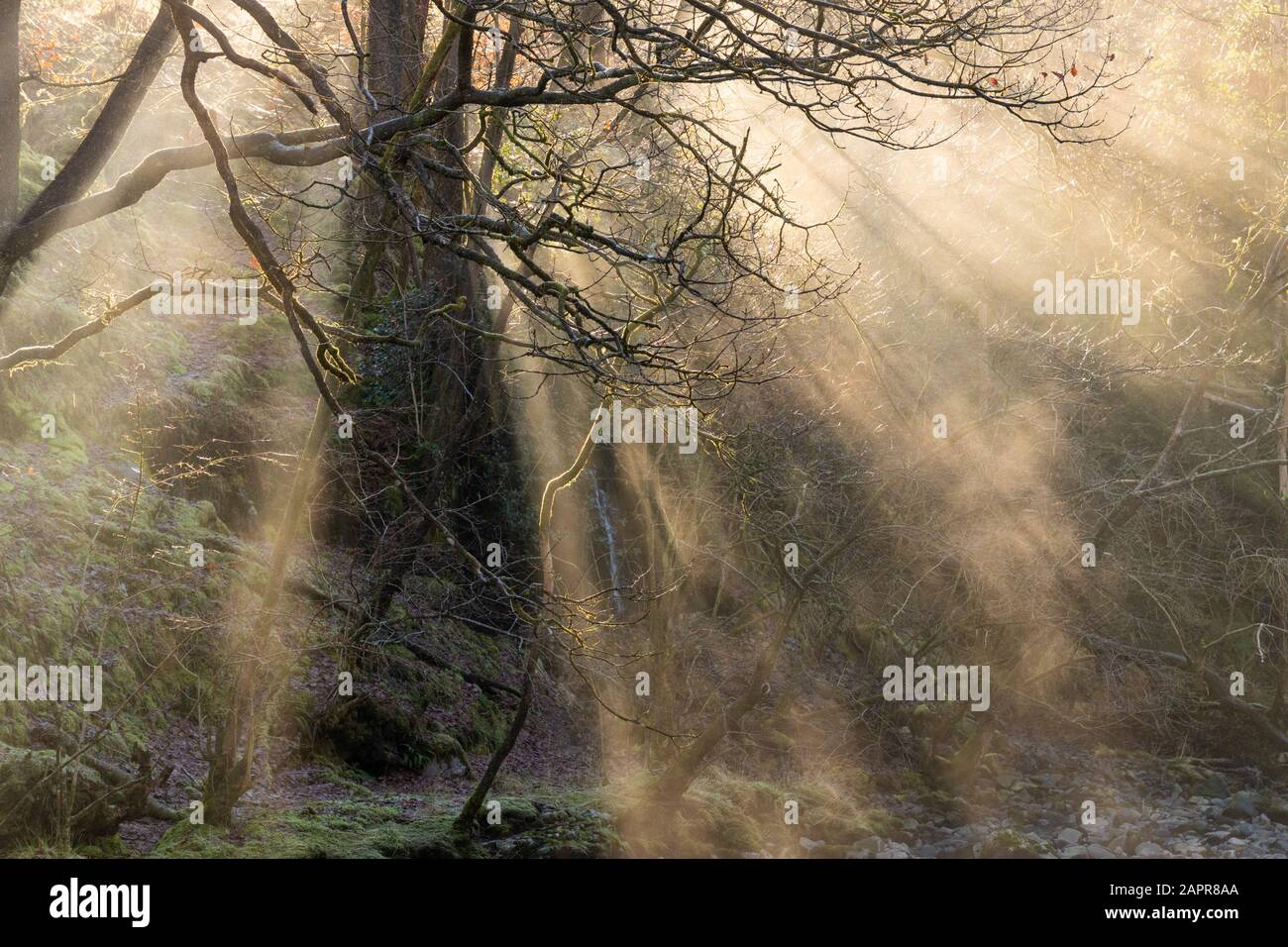 Light beams through trees,Rays of light shafts of light  Beams of sunlight through a forest in winter Brecon Beacons National park South Wales UK GB Stock Photo