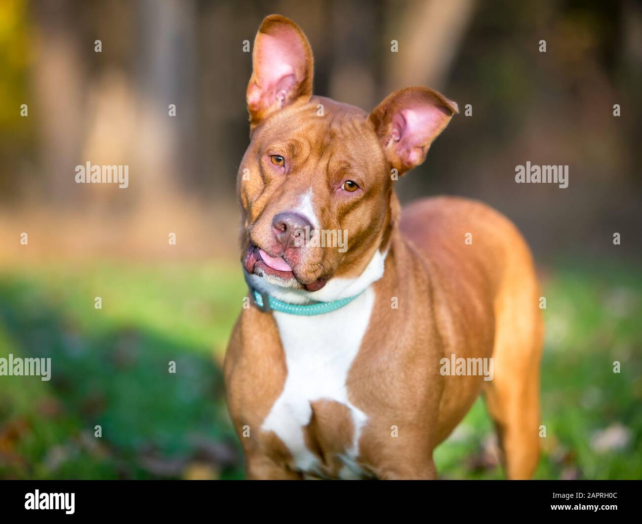 A Red And White Pit Bull Terrier Mixed Breed Dog With Large Ears Listening With A Head Tilt And A Goofy Expression Stock Photo Alamy