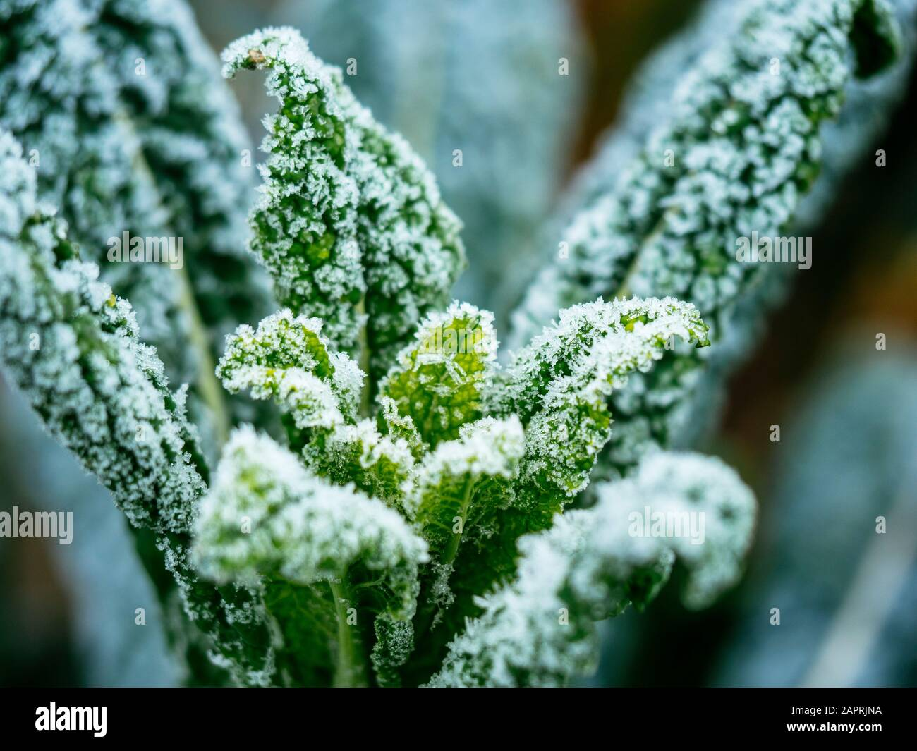 Kale Nero Di Toscana with frost in a vegetable garden end of January. Stock Photo