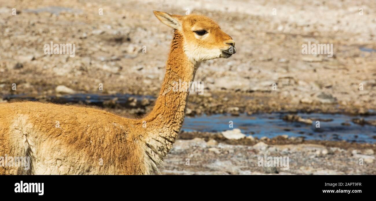 Vicuna at El Tatio Geysers, Altiplano, Chile Stock Photo