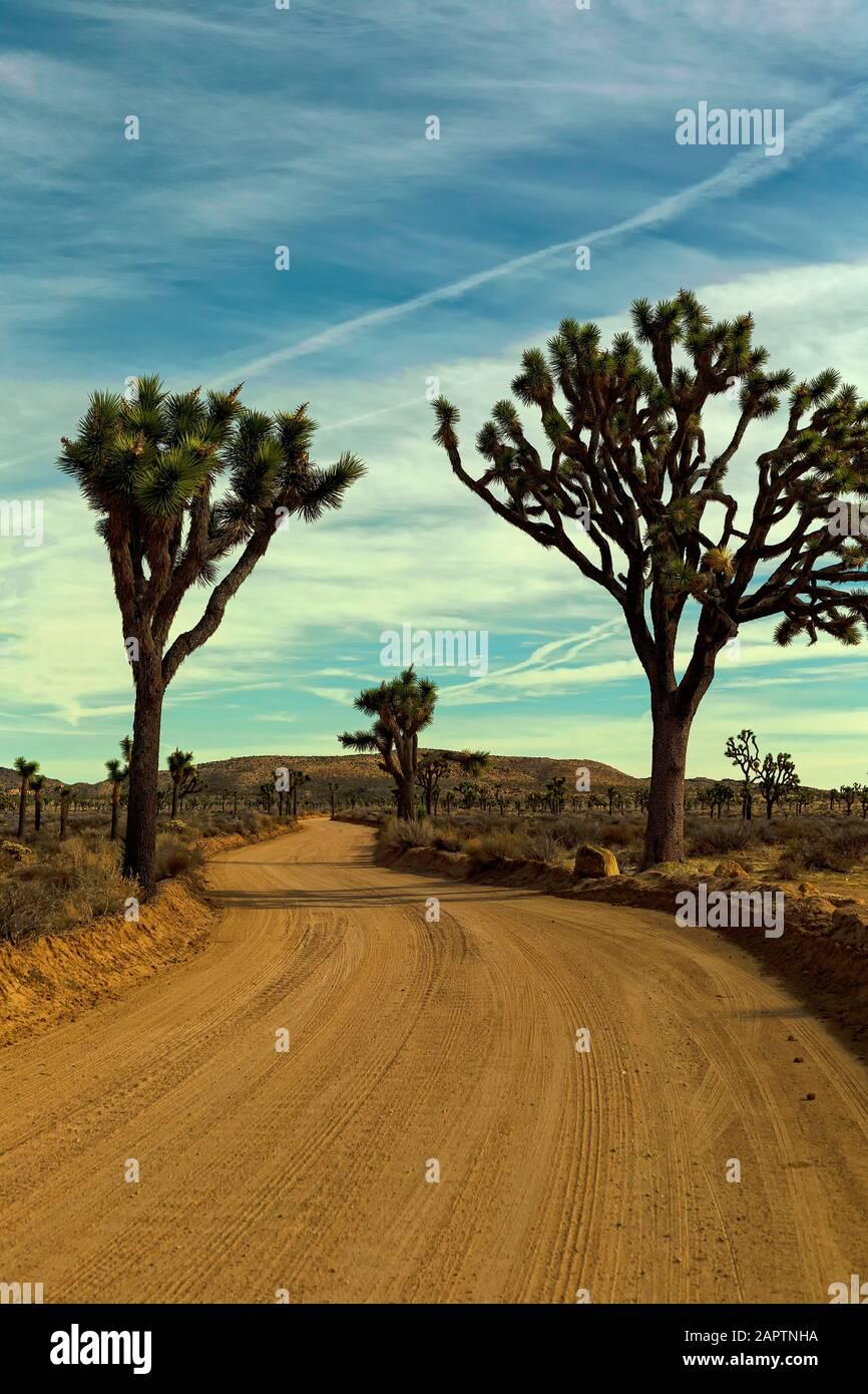 Joshua Tree National Park California USA. Joshua tree, Yucca palm, or Tree yucca (Yucca brevifolia). Stock Photo