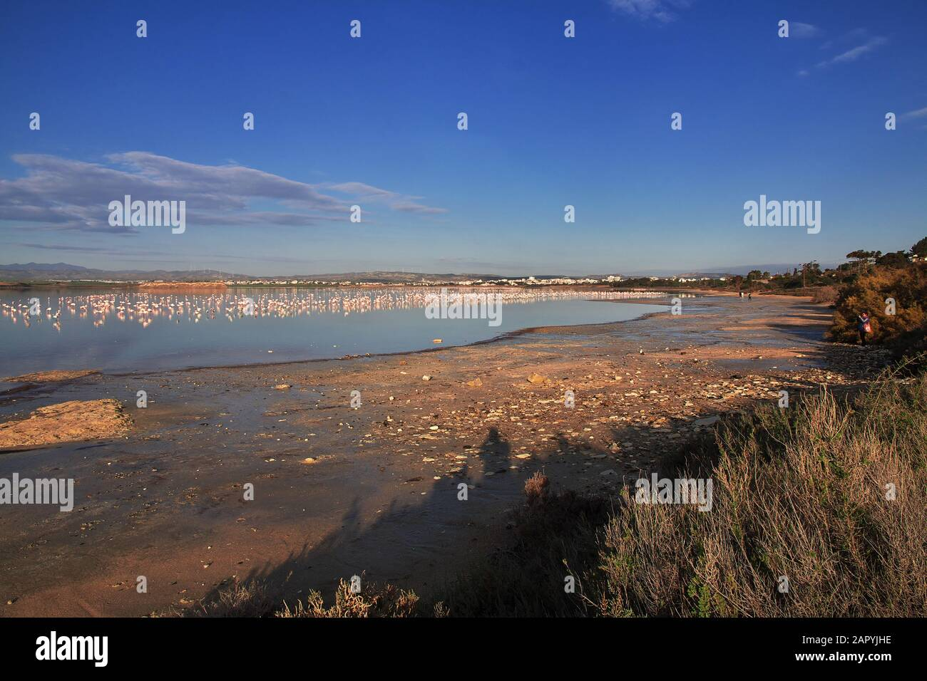 Flamingo on salt lake in Larnaca, Cyprus Stock Photo