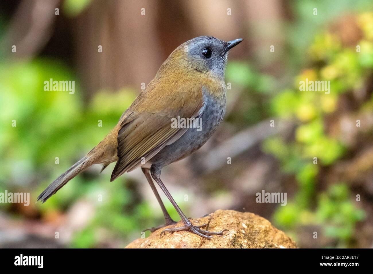 Black-billed nightingale-thrush (Catharus gracilirostris) - Paraiso Quetzal Lodge, San Gerardo de Dota, San Jose Province, Costa Rica Stock Photo