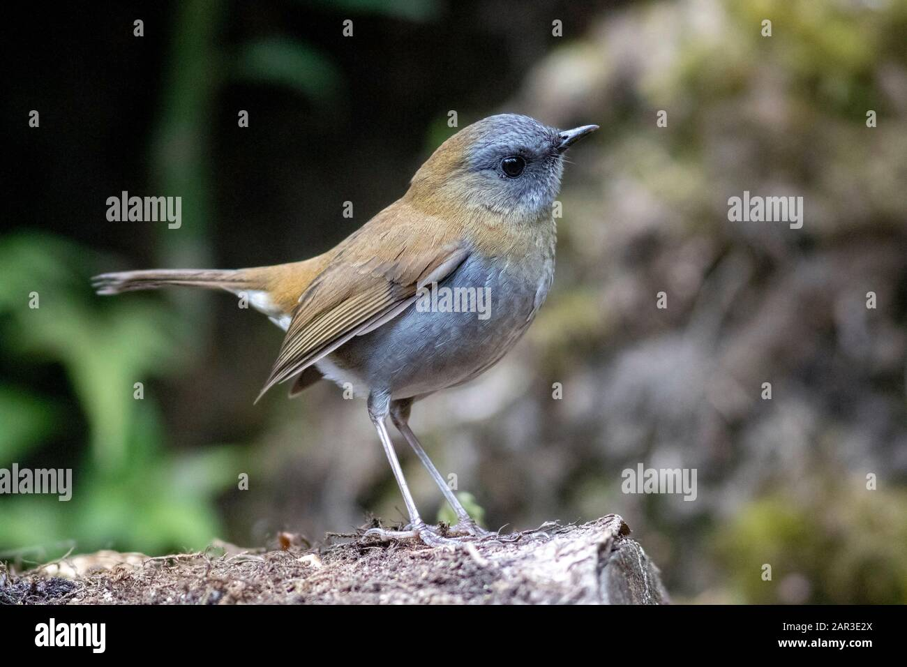 Black-billed nightingale-thrush (Catharus gracilirostris) - Paraiso Quetzal Lodge, San Gerardo de Dota, San Jose Province, Costa Rica Stock Photo