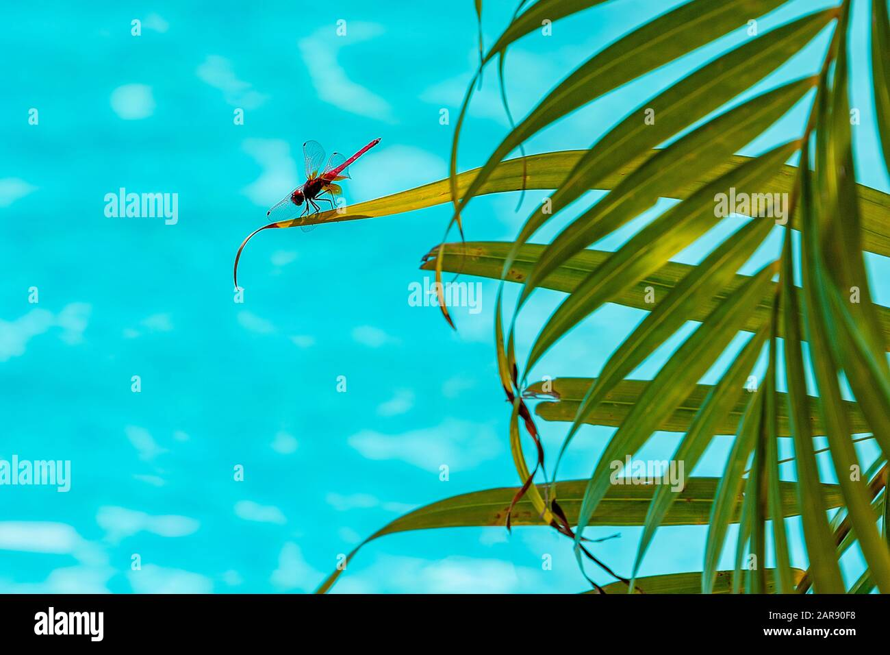 Udewalewe, Sri Lanka, Aug 2015:  Red dragonfly perched on a leaf overlooking blue water Stock Photo