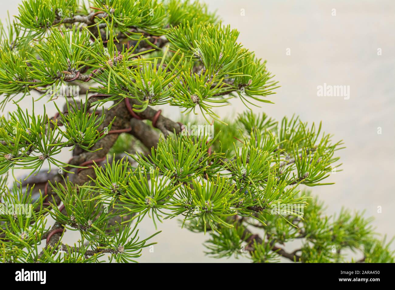 A Small Bonsai Tree Bonsai Pinus Ponderosa Ponderosa Pine Stock Photo Alamy
