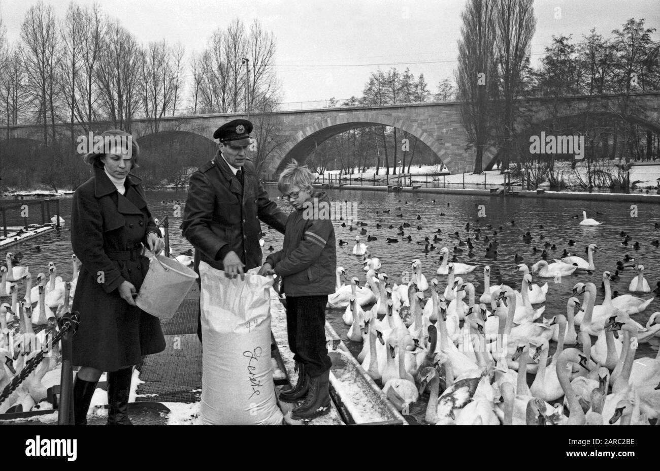 """Der Schwanenvater Harald Niess kümmert sich um die Alsterschwäne in Hamburg, Deutschland 1970er Jahre. Stockman Harald Niess, called """"Schwanenvater"""" feeding and taking care for the swans of Alster in Hamburg, Germany 1970s. Stock Photo"""