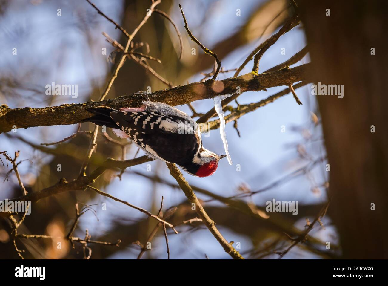 Middle spotted woodpecker Knock Ice (Dendrocoptes medius) Stock Photo