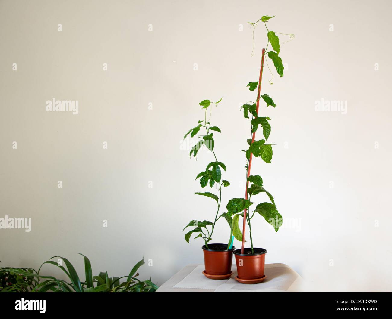 Passionfruit Plant High Resolution Stock Photography And Images Alamy