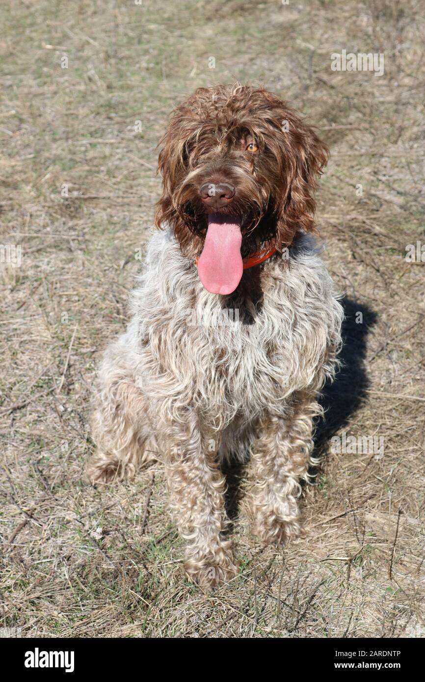 Wire-haired pointing griffon or Korthals with tongue sticking out Stock Photo