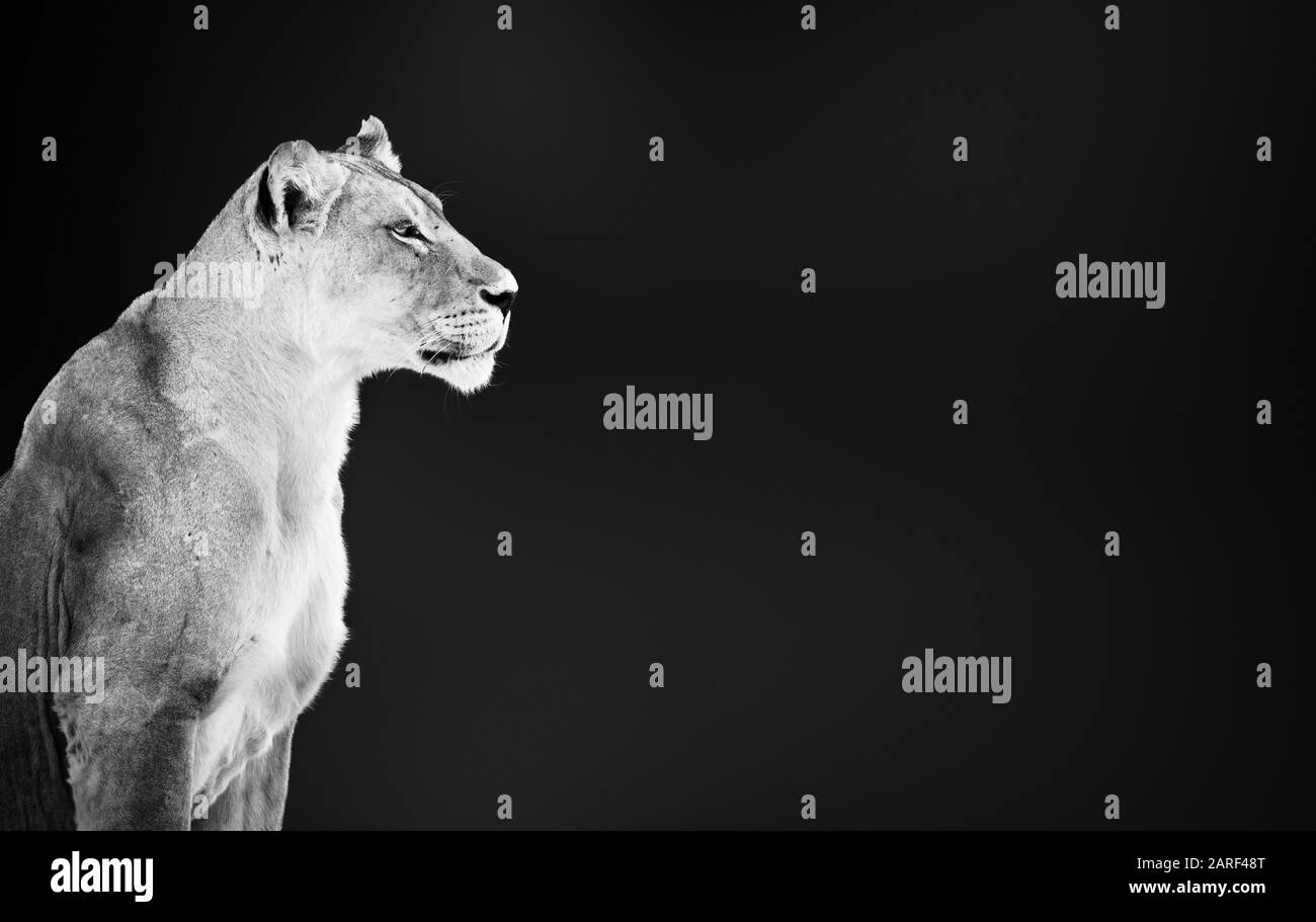 Lion female, lioness, Panthera leo,  portrait in black and white close up with writing space Stock Photo