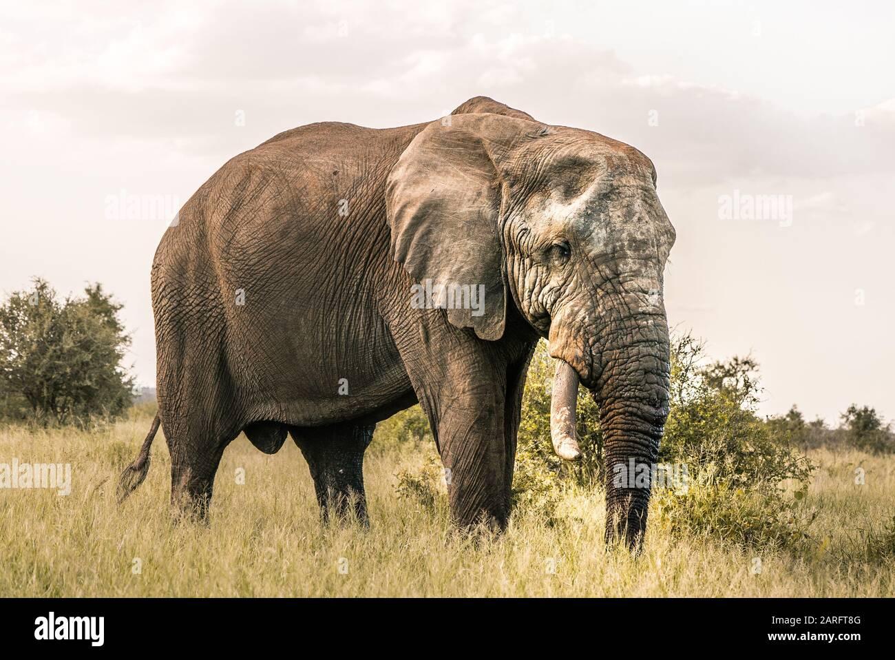 Big Elephant standing in africans wilderness, Kruger National Park Stock Photo