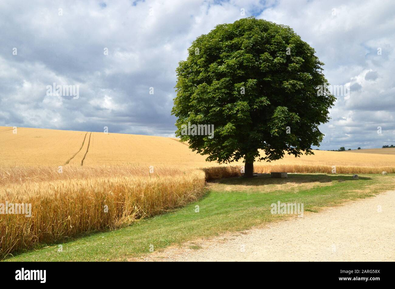 Nice Landscape With Wheat Field And Tree Oak Stock Photo Alamy