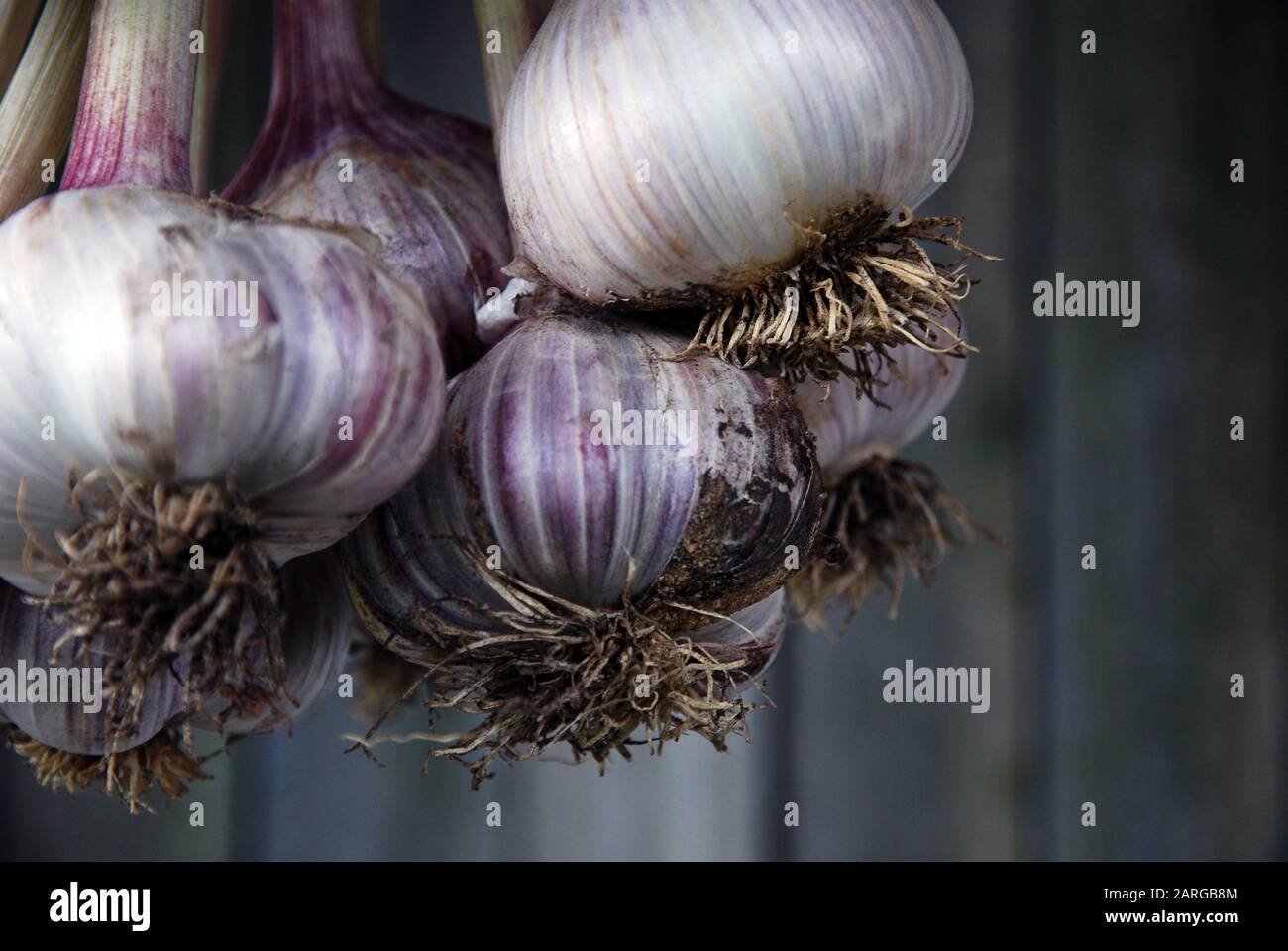 Bunch of freshly picked garlic hanging against gray wooden wall background, selective focus, close-up Stock Photo