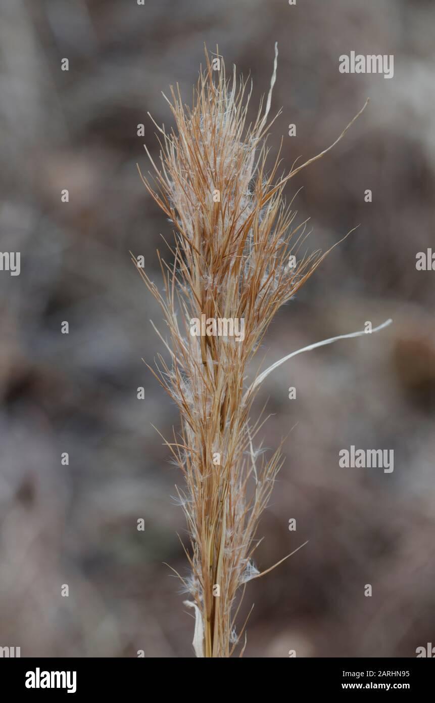 Bushy Bluestem, Andropogon glomeratus, in winter Stock Photo