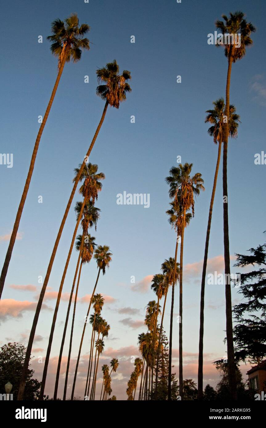 A row of palm trees at sunset in Los Angeles, CA. Stock Photo