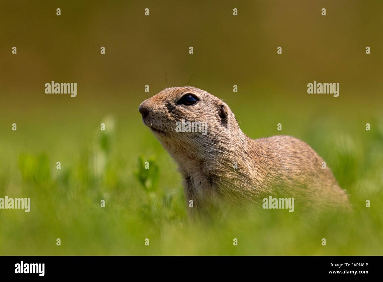 European ground squirrel, Spermophilus citellus on green grass, Kiskunsági Nemzeti national park, Hungary Stock Photo
