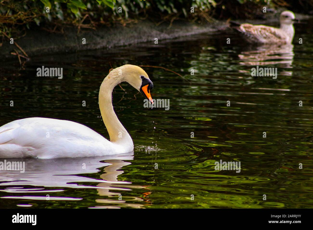 Mute swan cygnets, Cygnus olor, watched over by pen and cob, swimming in Grand Canal, Dublin, Ireland. Four young fluffy baby swans with soft down in Stock Photo