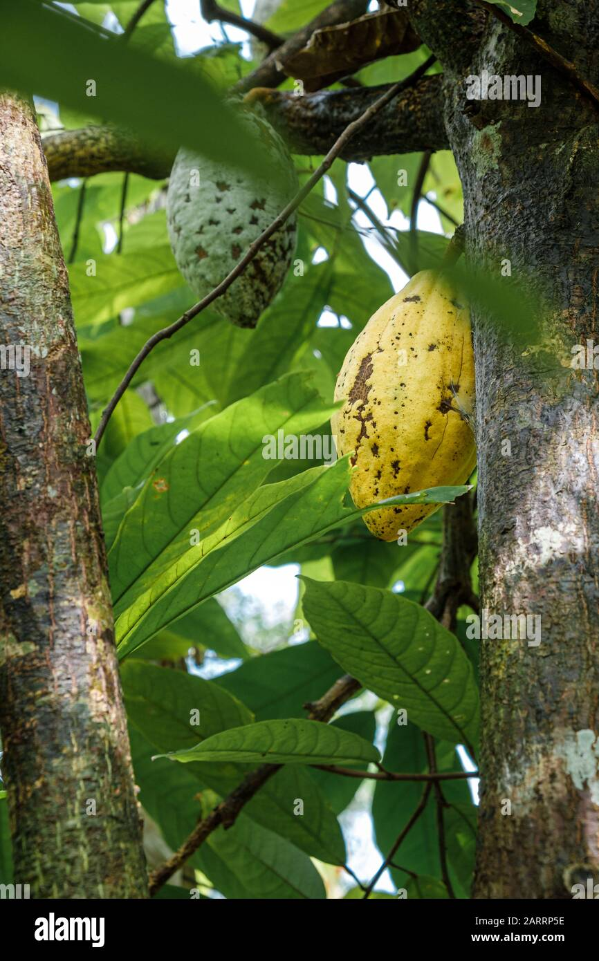 Cocoa fruit ripe in tree in jungle farm before harvest ready for collect Stock Photo