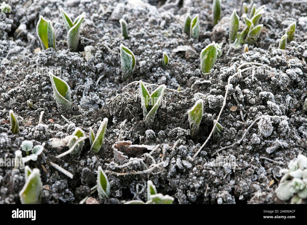 Frost on tulips tulip leaves plants shoots emerging from ground outside on  frosty cold winter January day in Gloucestershire UK   2020 KATHY DEWITT Stock Photo