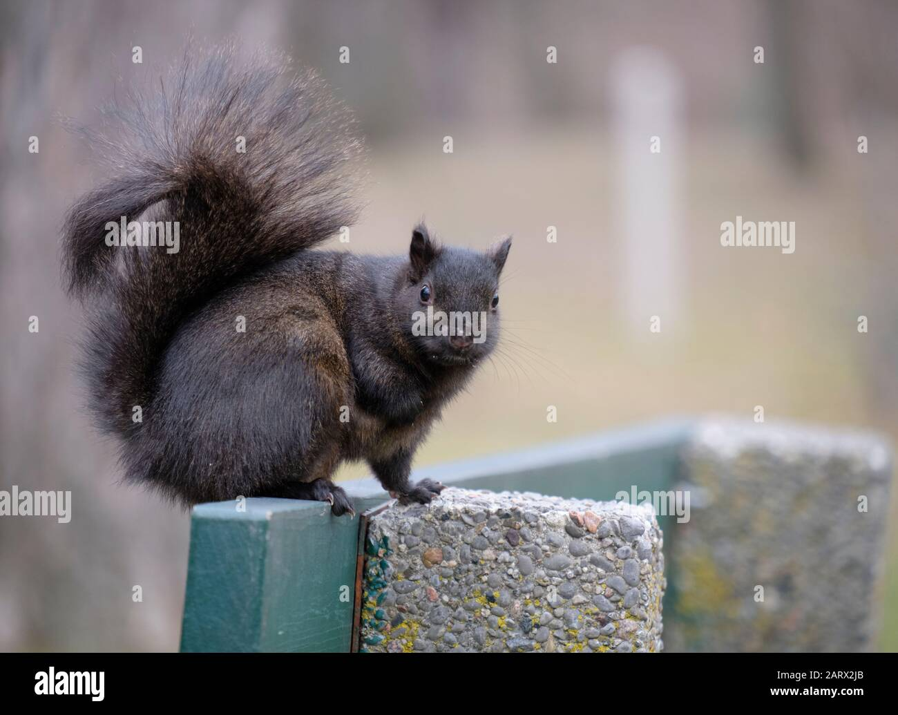 Black squirrel standing on bench looking at camera Stock Photo